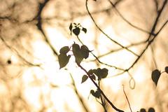 Let Love Lead the Way (Debmalya Mukherjee) Tags: debmalyamukherjee canon550d 50mm bokeh sunset backlit mumbai twig leaf tree love branches