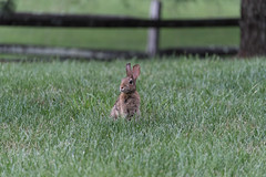 """""""Be Sure To Get My Good Side!"""" (riqwammy) Tags: animal rabbit bunny cottontail wild wildlife grass lawn green fence outside outdoors nikon d750 ears brown"""