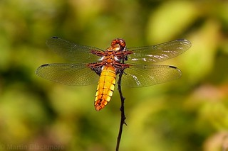 Broad bodied Chaser 0203(6D4)
