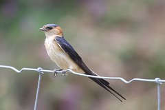 Red-rumped Swallow (cecropis daurica) (mrm27) Tags: swallow redrumpedswallow cecropis cecropisdaurica extremadura monfrague spain