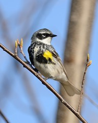 2018-05-01 Montrose Point 3 (JanetandPhil) Tags: 2018naturepreservesvariouslocations birds montrosepointbirdsanctuary lincolnpark chicagoparkdistrict chicagoil male yellowrumpedwarbler setophagacoronata myrtle