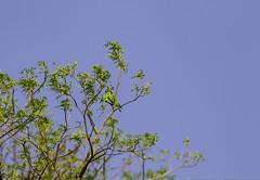 20180421-0I7A4137 (siddharthx) Tags: bird birdwatching birdsinthewild birdsofindia canon canon7dmkii catchment chandrampally chandrampallydam chandrampallynaturereserve chincholi chincholiforest chincholinaturereserve dawn daytrips ef100400mmf4556lisiiusm forest goldenhour gottamgutta habitatscrubland pristine promediageartr424lpmgprostix reservoir rivulet scrubforest sunrise telanganakarnatakaborder wild wildbirds wildlife plumheadedparakeet parakeet parrot gottamgotta karnataka india in
