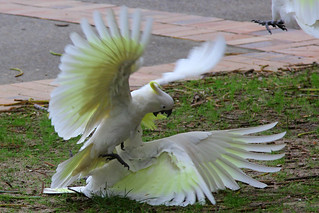 Sulphur Crested Cockatoo, Manly, September 12th 2014
