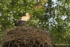 storch im nest (photos4dreams) Tags: gersprenz münster hessen germany naturschutz nabu naturschutzgebiet photos4dreams p4d photos4dreamz nature river bach flus natur pur susannahvvergau