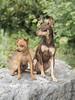 Nestor & Orféo des Lucioles d'Opales (Philippe Bélaz) Tags: 85mm d800e nestor orféo pragois ratierdeprague animal animaux animauxdecompagnie chien famille focalefixe portraitsanimalier printemps