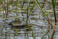 Frogs (FanFan Babii or just plain Buffan) Tags: frogs ätliggroda gölgroda wetland göl våtmark vass summer inheat heat green nature natur sweden sverige water