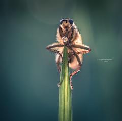 Cultivate the light you have within you (Ingeborg Ruyken) Tags: yellowdungfly spring cuckooflower flower fly flickr ochtend instagram macro empel 500pxs morning empelsedijk bloem natuurfotografie strontvlieg vlieg pinksterbloem april