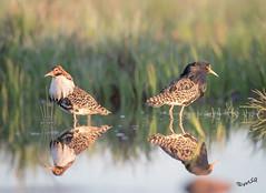 Could there be a chance for peace? (MatsOnni) Tags: suokukko calidrispugnax ruff male mattisaranpää birds water