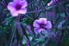 Flowers 39 (TheseusPhoto) Tags: purple vivid flowers bloom colors colorsoftheworld nature naturephotography natureporn beautyinnature macro closeup garden beautiful botanicalgardens