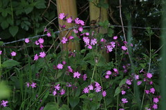 Red Campion (worldthroughalens74) Tags: campion flowers wildflowers nature outdoors uk england staffs canon sigma