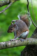 Eastern gray squirrel (jimbop22001) Tags:
