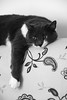 Lazy day (carlo612001) Tags: gatto gatta gatti cat cats kitten divano sofa posing shooting blackandwhite bw biancoenero bn portrait portraiture ritratto ritrattistica