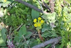 Euphorbia heliosc