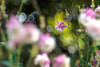 Aquilegia / オダマキ (Hideo N) Tags: aquilegia nature flower spring オダマキ 春 花 trioplan xt1 fantasticflower