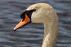 Swan, a wet portrait (wjpostma) Tags: zwaan swan cygne knobbelzwaan knopsvane cygnusolor cygnemuet cygnetuberculé höckerschwan muteswan cisnevulgar cisneblanco cisnemudo