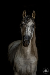 Ricolete (magdalena.fabin) Tags: gotowe horse horses andalusian pre portrait black blackbackground