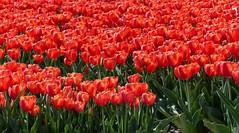 Foto Roel van Deursen Bollenpracht Goeree Overflakkee - Oude Tonge 2018-04-23 (12) (Roel van Deursen) Tags: tulpen vol bloei op goereeoverflakkee 2018