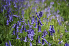 mad about bluebells (auroradawn61) Tags: bluebellwoods bluebells dorset uk england april spring 2018 nikon countryside flowers blue explored interestingness