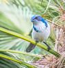 Alway's Looking. (Omygodtom) Tags: wildlife bird scrubjay natural dof d7100 bokeh tamron90mm tamron nikkor wet eye