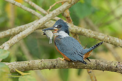 Ringed Kingfisher (Ian Locock Photography) Tags: 2018 birds millenniumlakes ringedkingfisher trinidad trinidadtobago