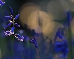 Blue Bells (Tim Gardner pics) Tags: