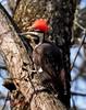 Woodpecker, Pileated 1b (RB) (MO FunGuy) Tags: pileatedwoodpecker missouri bird audubon society