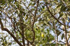 A l'attaque ! (alain_did) Tags: nature naturallight naturelover naturepics naturephoto oiseau vol piqué tropiques tropical branches arbres amazonie amazonia