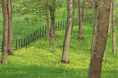 Drifts of cowslips (phileveratt) Tags: fencefriday happyfencefriday hff cowslips spring canon eos77d