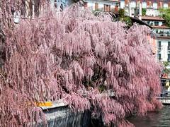 Limone sul Garda (magellano) Tags: limone italia italy lago garda lake fiore flower pianta riva albero tree primavera spring