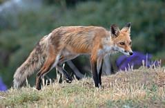 Urban Fox (M) (knobby6) Tags: redfox urban california nikond5 800mm 125 tc