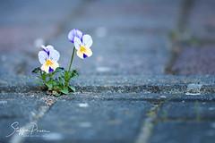 Viola on street (svpe4711) Tags: beton viola flowers gehweg nature flower germany blume natur makro veilchen blue strase sigma105 blau gelb d750 macro concrete yellow street blumen