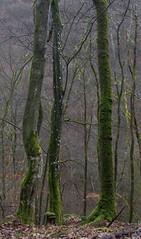 Bäume (LoggeJo) Tags: geierlay hunsrück rheinlandpfalz wald bäume moos wood forest tree carrageen