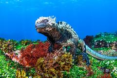 marine iguana (Todd Aki) Tags: galapagos scuba marineiguana