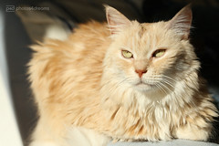 chilli in the evening sun (photos4dreams) Tags: p4d photos4dreamz photos4dreams photos chilli photo pics misschillipepper mainecoon female cat ginger red rot fluffy katze canoneos5dmark3