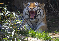 National Zoo 3 May 2018  (599) Tiger (smata2) Tags: tiger tigre flickrbigcats bigcats smithsoniannationalzoo zoo zoosofnorthamerica itsazoooutthere animals zoocritters