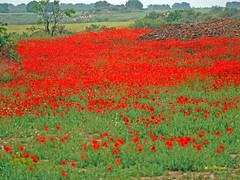 Campo de Amapolas   (17) (eb3alfmiguel) Tags: campos rojo amapolas