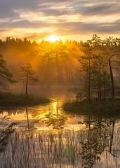 Misty swamps. (fedorlashkov) Tags: photo summer leningradregion trees pine island lake dawn reflection fog morning rest travel tourism
