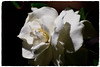 A Traditional Bloom (The Spirit of the World ( On and Off)) Tags: spring flower floral plant nature sandiego california usa camellia patio shadows light