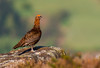 Red Grouse (Peter Quinn1) Tags: redgrouse derwentedge derbyshire moorland heather