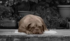 Ne pas déranger, s.v.p.! (hans pohl) Tags: espagne toledo castillelamanche chiens dogs nature animals animaux noiretblanccoloré blackandwhite recoloured