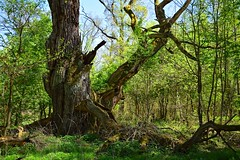 the storyteller (JoannaRB2009) Tags: oak old tree nature forest swamps light shadow lowersilesia greaterpoland miliczponds stawymilickie polska poland dolinabaryczy
