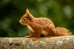 Red Squirrel (Chris-Henry) Tags: redsquirrell wild wildlife nature natural animal endangered rare summer