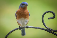 Bluebird - Anderson S.C. (DT's Photo Site - Anderson S.C.) Tags: canon 6d 70200f4lis lens andersonsc upstate southcarolina wildlife blue bird ornithology perch scenic beauty outdoor southern america usa macro colorul feeder