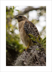 Red Shouldered Hawk (Buteo lineatus) (prendergasttony) Tags: redshoulderedhawk buteolineatus prey wildlife nature tree moss florida america nikon d7200 tonyprendergast beak tallon