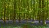 A place in the shade, Great Coxwell, Oxfordshire, England (Oswald Bertram) Tags: badbury badburywood badburyclump badburyhill bluebells campanillas jacinthes jacinthesdesbois hasenglöckchen englishbluebells spring printemps frühling landschaft landscape paisaje paysage outdoors outside hiking walking countryside country rural flowers fleurs flora flores blumen blue light colourful colorful