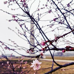 first cherry blossoms (ekelly80) Tags: dc washingtondc february2018 cherryblossoms run nationalmall flowers blossoms view washingtonmonument pink tree