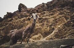 Dusty Goat (oppisan) Tags: goat middle east arabia panasonic g85 g80 lumix outdoorphoto animal