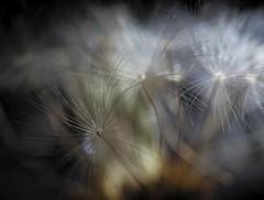 Dandelion Cloud (christiane.grosskopf) Tags: dandelion löwenzahn lowkey macro makro blur