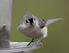 Tufted Titmouse (Laura Erickson) Tags: paridae tuftedtitmouse wisconsin birds trempealeau judybautchshouse species places passeriformes baeolophusbicolor