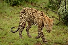 Fearless (G-Seb) Tags: fearless southafrica safari wildness nature wild naturephotography travel travelphotography africa pilanesberg leopard wildanimal animal animalpicture nikond7100 nikon
